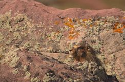 Whistel pig Marmota monax in red rocks. Peeking out royalty free stock photos