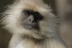 Portrait of a Hanuman Langur monkey, looking in to the camera, deep in thought. Stock Photography