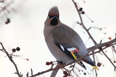 The Waxwing from the front stock images