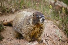 Whistle Pig - Marmot Royalty Free Stock Photo