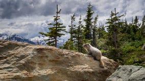 Whistler Marmot Images libres de droits