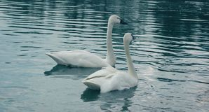 Whistlers Or Tundra Swans Royalty Free Stock Photo