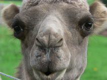 Whistling camel. Close-up of a camel's face Stock Photo