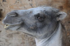 Whistling Camel. This funny camel is whisteling as it appears Stock Image