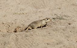 Whistling desert rat Stock Photo