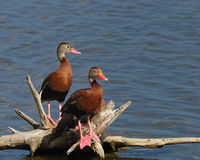 Whistling duck. A pair of whistling ducks Royalty Free Stock Photography