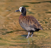 Whistling Duck Male. Whistling duck standing in pond close up and sharp Stock Image