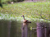 Whistling duck Royalty Free Stock Image