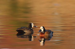 Whistling Ducks Royalty Free Stock Photos