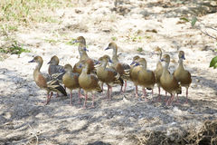 Whistling ducks Stock Photo