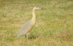 Whistling heron Royalty Free Stock Photos