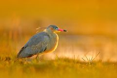Whistling Heron, Syrigma sibilatrix, bird with evening sun, Pantanal, Brazil. Bird in beautiful morning sun. Sunset nature lake. W Royalty Free Stock Images