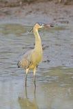 Whistling heron, Syrigma sibilatrix Stock Photos