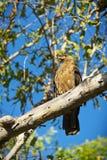 Whistling Kite Royalty Free Stock Photo
