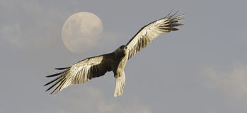 Whistling Kite bird in flight. Juvenile Whistling Kite bird in flight with sky and full moon in background Stock Photos