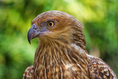 Whistling Kite Royalty Free Stock Photo