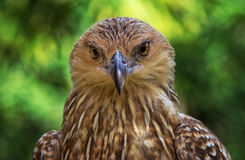 Whistling Kite Royalty Free Stock Image