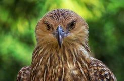 Whistling Kite royalty free stock image