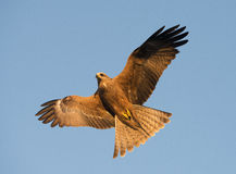 Whistling kite Stock Photo