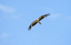 Whistling kite blue sky Stock Photo
