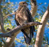 Whistling kite in gum tree. A whistling kite perched in a gum tree near its nest Royalty Free Stock Images