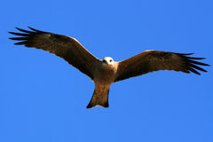 Whistling Kite - Kakadu National Park, Australia stock images