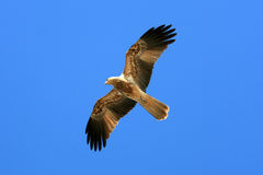 Whistling Kite - Kakadu National Park, Australia Royalty Free Stock Photography