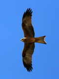 Whistling Kite - Kakadu National Park, Australia Royalty Free Stock Images