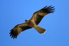 Whistling Kite - Kakadu National Park, Australia Royalty Free Stock Images