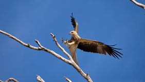 Whistling kite Royalty Free Stock Images