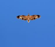 Whistling Kite. A whgistling kite soars along NW coastline Stock Photo