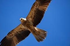 Whistling kite Stock Photos