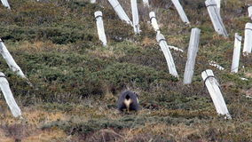 Whistling male chamois (Rupicapra rupicapra) in its natural environment. stock footage