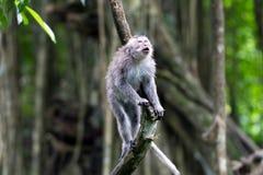 Whistling monkey in Ubud forest, Bali Stock Photo