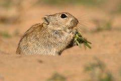Whistling rat. (Parotomys brantsii) feeding in desert environment, Kalahari, South Africa royalty free stock photos