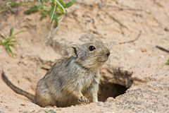 Whistling rat Stock Images