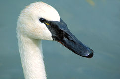 Whistling swan Stock Images