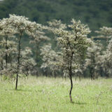 Whistling thorn - Acacia dreparalobium Stock Photo