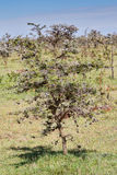 Whistling Thorn Acacia Tree. On the rising, rocky outcrop leading to the airfield at Olare Orok Conservancy, bordering Masai Mara, Kenya, there is a veritable Stock Images
