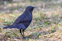Whistling Thrush. Standing on ground royalty free stock photography