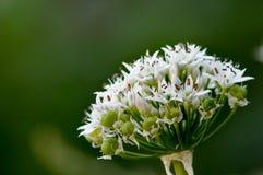 Whit bloemen met Groene achtergrond Stock Afbeeldingen