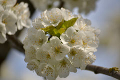 Whit cherry blossoms Stock Photo