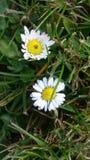 Whit da flor da foto Imagem de Stock Royalty Free