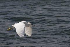 Whit egret Stock Photo