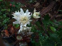 Whit Flower Imagem de Stock Royalty Free