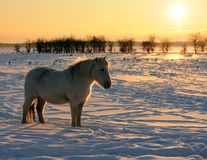 Whit horse. Horse a winter day at sunset Royalty Free Stock Images