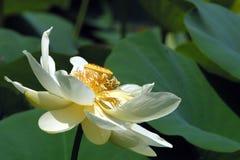 Whit lotusbloem royalty-vrije stock foto