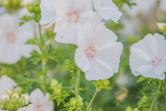 Whit malva. In summer garden Royalty Free Stock Images