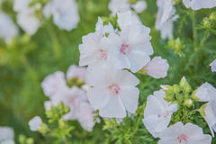 Whit malva. In summer garden Royalty Free Stock Photography