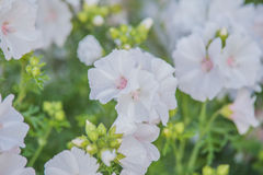 Whit malva. In summer garden Stock Images